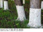 Купить «Tree trunks treated with an insect lime», фото № 30813800, снято 18 мая 2019 г. (c) Володина Ольга / Фотобанк Лори