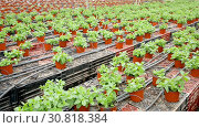Купить «Image of seedlings of mint growing in pots in greenhouse, nobody», видеоролик № 30818384, снято 26 апреля 2019 г. (c) Яков Филимонов / Фотобанк Лори