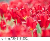 Купить «Поле красных тюльпанов в солнечный весенний день», фото № 30818552, снято 12 мая 2019 г. (c) Екатерина Овсянникова / Фотобанк Лори