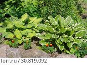 Купить «Хосты на клумбе в саду», фото № 30819092, снято 28 июня 2018 г. (c) Елена Коромыслова / Фотобанк Лори