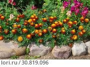 Купить «Красивая клумба с бархатцами в летнем саду», фото № 30819096, снято 22 июля 2018 г. (c) Елена Коромыслова / Фотобанк Лори