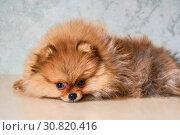Купить «Померанский шпиц-трёхмесячный щенок. Россия.», фото № 30820416, снято 12 мая 2019 г. (c) Владимир Устенко / Фотобанк Лори