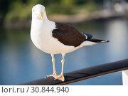 Купить «Черно-белая морская чайка», фото № 30844940, снято 10 июля 2018 г. (c) Кекяляйнен Андрей / Фотобанк Лори