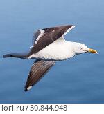 Купить «Черно-белая морская чайка в полете», фото № 30844948, снято 10 июля 2018 г. (c) Кекяляйнен Андрей / Фотобанк Лори