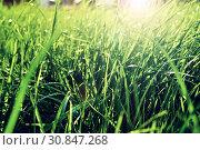Купить «Summer grass background - closeup of fresh bright green grass on the lawn lit by shining sunbeams. Grass landscape», фото № 30847268, снято 3 мая 2016 г. (c) Зезелина Марина / Фотобанк Лори