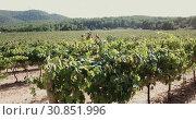 Купить «Close up view of ripe grapes in vineyard with blurred background», видеоролик № 30851996, снято 27 сентября 2018 г. (c) Яков Филимонов / Фотобанк Лори