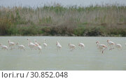 Купить «Flamingos walking in water in their natural environment», видеоролик № 30852048, снято 13 мая 2019 г. (c) Яков Филимонов / Фотобанк Лори