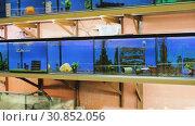 Купить «Many aquariums with exotic fish and plants for sale in pet shop», видеоролик № 30852056, снято 26 марта 2019 г. (c) Яков Филимонов / Фотобанк Лори