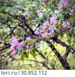 Купить «Цветение вишни. Каменный остров. Санкт-Петербург», фото № 30852112, снято 22 мая 2019 г. (c) Румянцева Наталия / Фотобанк Лори