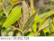 Bright red and black ladybug with water drops on the green leaves of honeysuckle after rain in the garden in summer. Стоковое фото, фотограф Татьяна Куклина / Фотобанк Лори