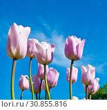 Розовые тюльпаны на фоне голубого неба с белыми облаками в весенний солнечный день. Стоковое фото, фотограф E. O. / Фотобанк Лори