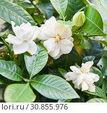 Гардения жасминовидная (Gardenia jasminoides) Стоковое фото, фотограф E. O. / Фотобанк Лори