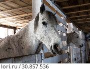 Купить «Two horses gray suit in the stalls in the stable», фото № 30857536, снято 20 марта 2019 г. (c) Наталья Волкова / Фотобанк Лори