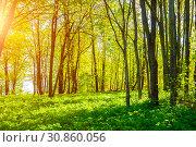 Купить «Летний лес. Summer forest landscape in sunny weather - forest trees lit by soft sunlight», фото № 30860056, снято 12 мая 2018 г. (c) Зезелина Марина / Фотобанк Лори