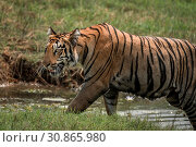 Купить «Close-up of Bengal tiger climbing riverbank right-to-left», фото № 30865980, снято 20 июня 2019 г. (c) easy Fotostock / Фотобанк Лори
