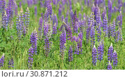 Купить «Beautiful glade with blooming lupins», видеоролик № 30871212, снято 4 июня 2019 г. (c) Володина Ольга / Фотобанк Лори