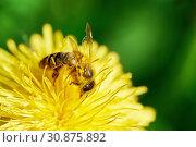 Купить «Bee covered with pollen on the yellow dandelion. Macro photo», фото № 30875892, снято 19 мая 2019 г. (c) Георгий Дзюра / Фотобанк Лори