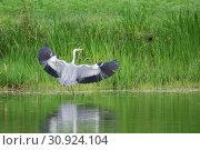 Купить «Серая цапля (лат. Ardea cinerea)», эксклюзивное фото № 30924104, снято 28 мая 2019 г. (c) syngach / Фотобанк Лори