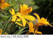 Купить «Yellow daylily blooms in the garden», фото № 30932908, снято 1 июня 2019 г. (c) Алексей Кузнецов / Фотобанк Лори
