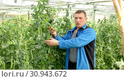 Купить «Farmer at work in greenhouse checking fresh harvest of organic peas», видеоролик № 30943672, снято 26 апреля 2019 г. (c) Яков Филимонов / Фотобанк Лори