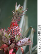 Купить «Red pineapple with green leaves growing in a flowerbed in a botanical garden with plants and spices in Sri Lanka», фото № 30948288, снято 15 марта 2019 г. (c) katalinks / Фотобанк Лори
