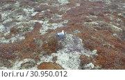 Купить «Larus canus. Сизая чайка на гнезде в ямальской тундре», видеоролик № 30950012, снято 2 июня 2019 г. (c) Григорий Писоцкий / Фотобанк Лори