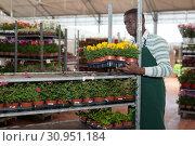 Купить «Florist arranging flowered Tagetes patula», фото № 30951184, снято 22 мая 2019 г. (c) Яков Филимонов / Фотобанк Лори