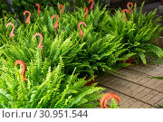 Купить «Flowering plants fern cultivated in modern orangery», фото № 30951544, снято 22 июля 2019 г. (c) Яков Филимонов / Фотобанк Лори