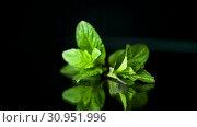 Купить «Bunch of fresh green mint on black background», видеоролик № 30951996, снято 30 апреля 2019 г. (c) Peredniankina / Фотобанк Лори