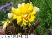 Купить «Желтая клубневая бегония крупным планом», фото № 30974452, снято 27 июня 2018 г. (c) Елена Коромыслова / Фотобанк Лори