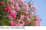 Купить «Beautiful pink blooming oleander on a sunny day», видеоролик № 30984536, снято 13 июня 2019 г. (c) Володина Ольга / Фотобанк Лори
