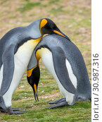 Courtship display. King Penguin (Aptenodytes patagonicus) on the Falkland Islands in the South Atlantic. South America, Falkland Islands, January. Стоковое фото, фотограф Martin Zwick / age Fotostock / Фотобанк Лори