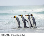 King Penguin (Aptenodytes patagonicus) on the Falkland Islands in the South Atlantic. South America, Falkland Islands, January. Стоковое фото, фотограф Martin Zwick / age Fotostock / Фотобанк Лори