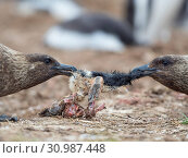 At carcass of Gentoo Penguin (Pygoscelis papua) in colony. Falkland Skua or Brown Skua (Stercorarius antarcticus, exact taxonomy is under dispute). They... Стоковое фото, фотограф Martin Zwick / age Fotostock / Фотобанк Лори