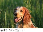 Купить «Собака породы Русский охотничий спаниель на природе», фото № 30995172, снято 20 июня 2019 г. (c) Яна Королёва / Фотобанк Лори