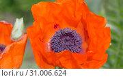Scarlet flowers sway in the wind. Flower poppy garden, Papaver. Стоковое видео, видеограф Константин Мерцалов / Фотобанк Лори