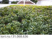Купить «The juniper bush closeup. Background with juniper branches growing in the park», фото № 31068636, снято 8 марта 2019 г. (c) easy Fotostock / Фотобанк Лори