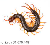Centipede or chilopoda isolated on white background. Стоковое фото, фотограф YAY Micro / easy Fotostock / Фотобанк Лори