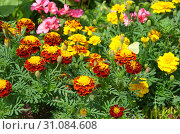Купить «Яркие бархатцы (лат. Tagetes) цветут на клумбе», фото № 31084608, снято 18 июля 2018 г. (c) Елена Коромыслова / Фотобанк Лори