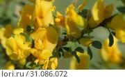 Yellow broom flowers. Flower cytisus lotoides Pourr. Стоковое видео, видеограф Константин Мерцалов / Фотобанк Лори