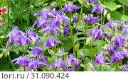 Купить «Bumblebee on aquilegia flower», видеоролик № 31090424, снято 24 июня 2019 г. (c) Игорь Жоров / Фотобанк Лори