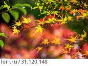 Купить «Colorful japanese maple (Acer palmatum) leaves during momiji season at Kinkakuji garden, Kyoto, Japan», фото № 31120148, снято 15 ноября 2018 г. (c) easy Fotostock / Фотобанк Лори