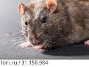 Купить «Animal gray rat close-up on a black background», фото № 31150984, снято 13 марта 2018 г. (c) easy Fotostock / Фотобанк Лори