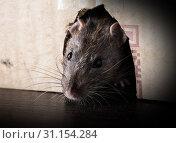 Купить «Gray rat peeking out of the box close-up», фото № 31154284, снято 2 апреля 2018 г. (c) easy Fotostock / Фотобанк Лори
