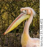 Купить «Funny close up of the head of a rosy pelican, Water bird from Europe», фото № 31168472, снято 12 февраля 2019 г. (c) easy Fotostock / Фотобанк Лори