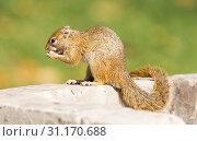 Купить «Tree squirrel ( Paraxerus cepapi) eating leftover bread, Namibia», фото № 31170688, снято 14 августа 2018 г. (c) easy Fotostock / Фотобанк Лори