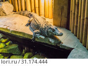 African dwarf crocodile also know as the bony or broad snouted crocodile a wild animal from africa. Стоковое фото, фотограф YAY Micro / easy Fotostock / Фотобанк Лори