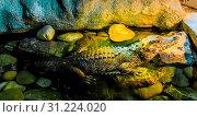 African adult dwarf or bony crocodile with deep red eyes sitting in the water wildlife portrait of a dangerous predator. Стоковое фото, фотограф YAY Micro / easy Fotostock / Фотобанк Лори