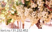 Купить «Ripe bunches of green grapes hanging», фото № 31232452, снято 29 февраля 2020 г. (c) Татьяна Яцевич / Фотобанк Лори