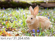 Купить «A glade of blue spring flowers with a little fluffy red rabbit, an Easter bunny, a hare on a meadow», фото № 31264656, снято 28 марта 2019 г. (c) easy Fotostock / Фотобанк Лори